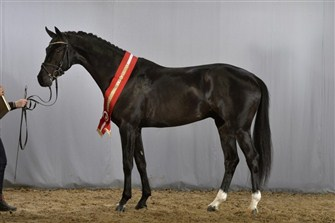 The dressage champion colt Galaxy Win T.