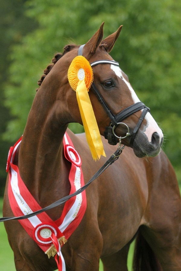 "Årets dressurbetonede hoppe ""Prima Donna"" Champion dressage mare of the year."