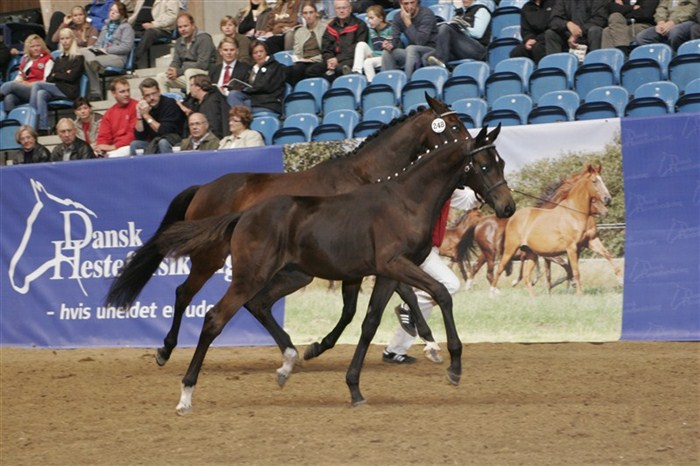 ERA Dancing Hit as a top priced foal at the 2008 Elite Foal Auction. He later on became 2011 licensing champion stallion.